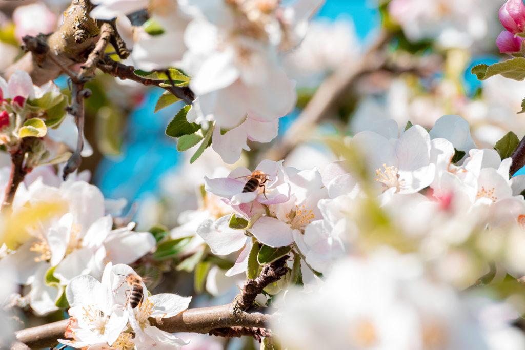 Apfelbaum mit Bienen